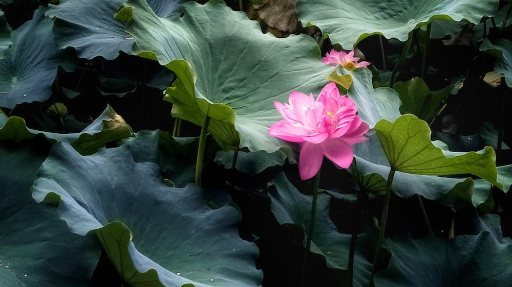 pink petaled flower bloom at daytime