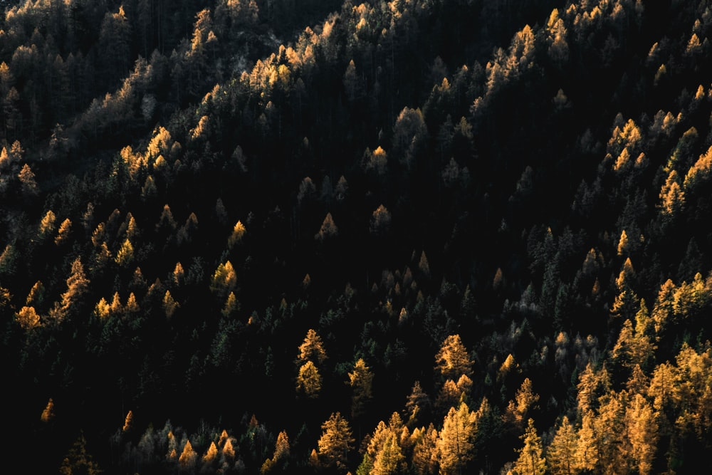 aerial photography of green pine trees
