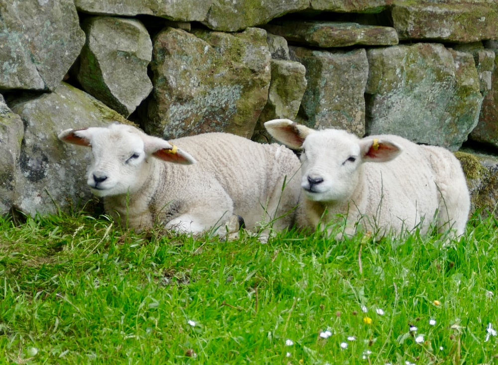 two white sheeps lying on green grass