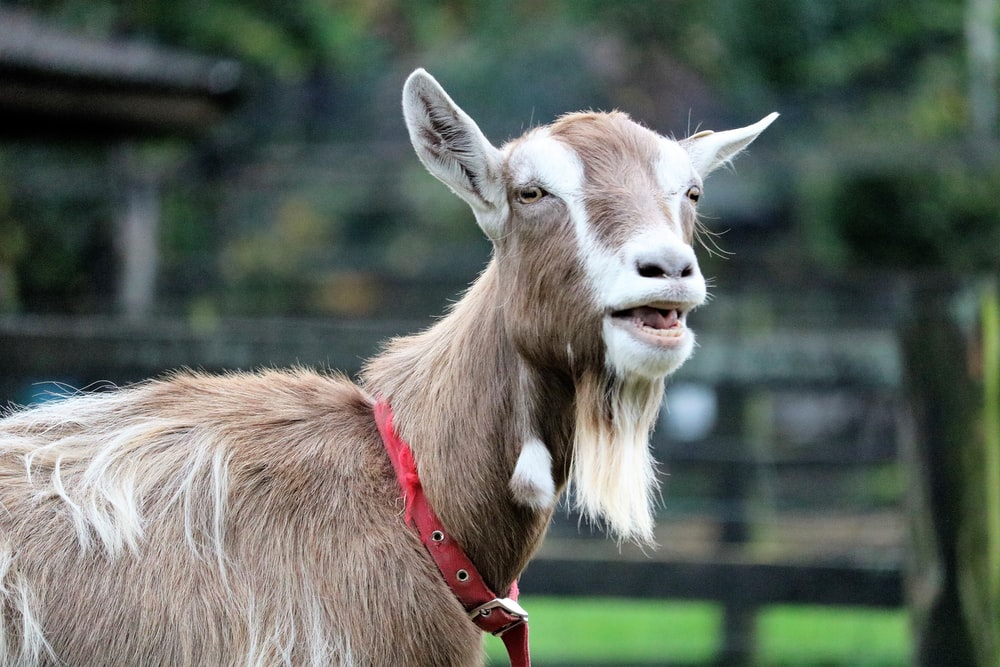 close-up photo of goat