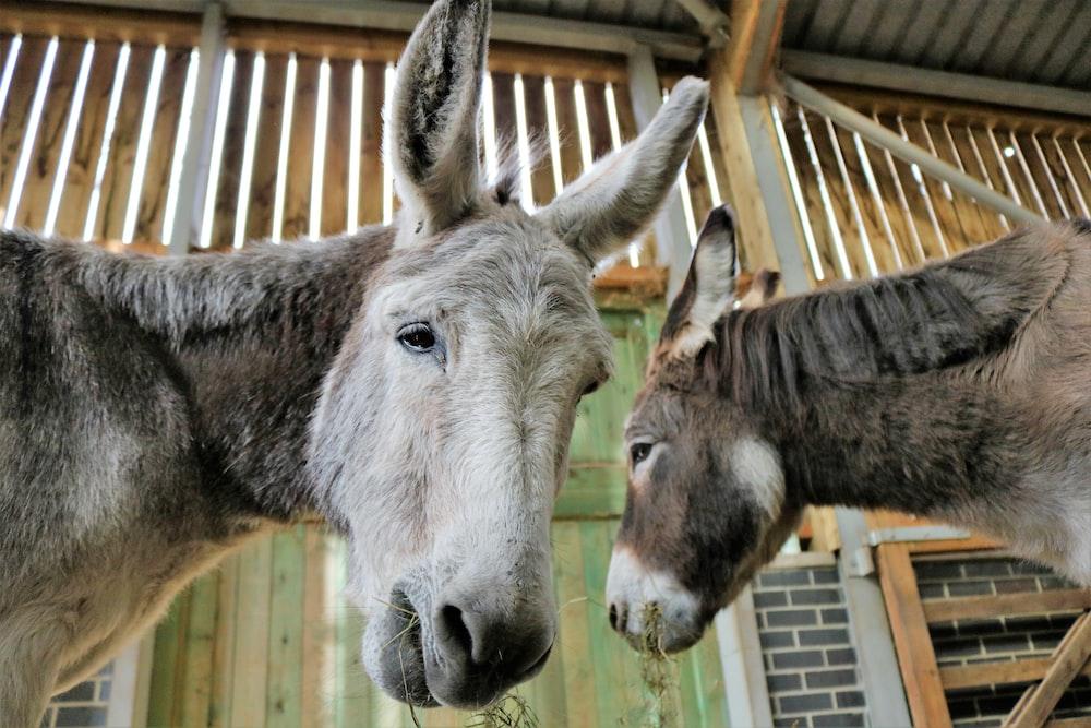 two donkeys eating grass inside barn