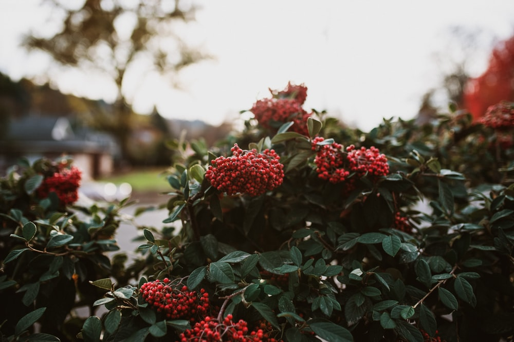 green leafed red petaled flowering plant