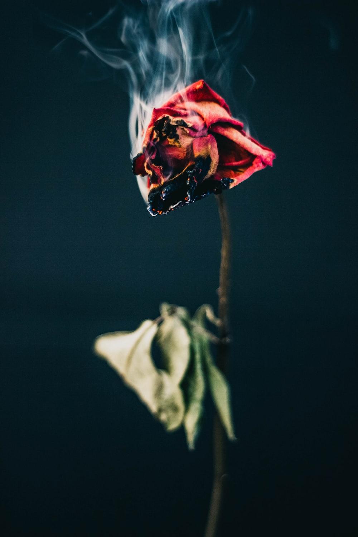 red rose flower burning