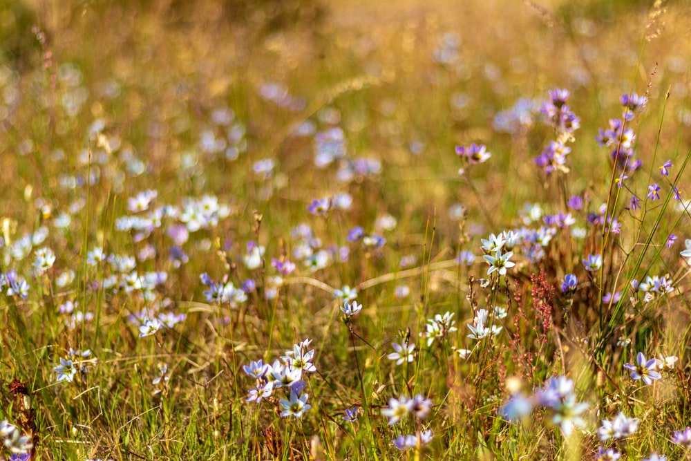 white and purple petaled flower field