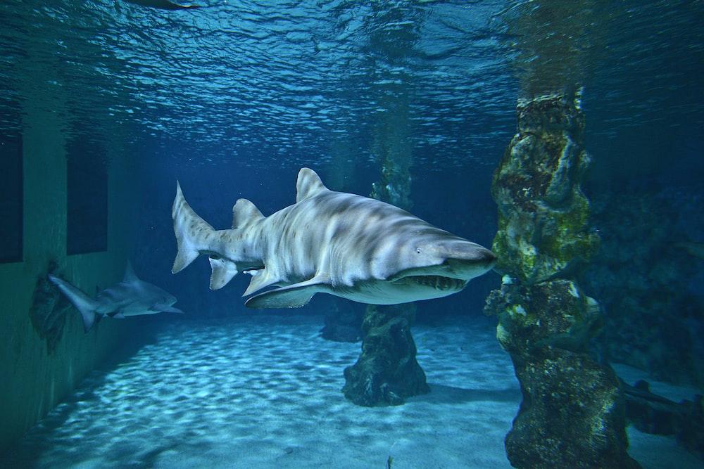 gray shark underwater