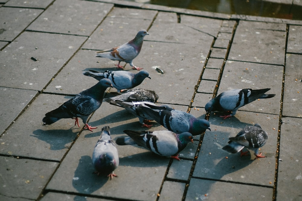 flock of dove eating on floor at daytime