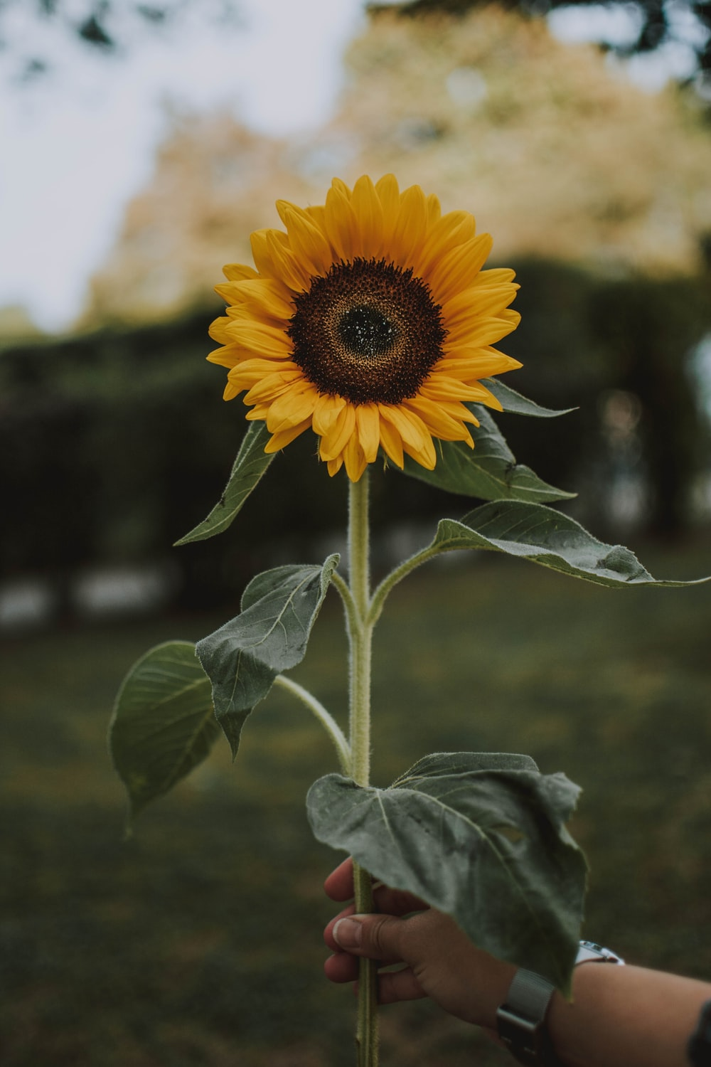 900 Sunflower Images Download Hd Pictures Photos On Unsplash