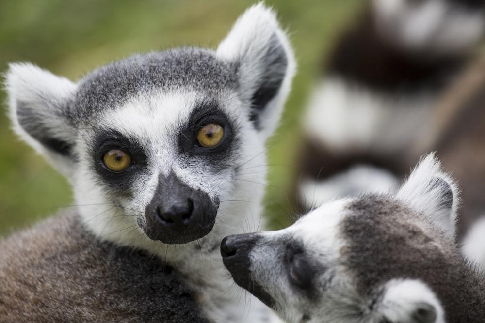 gray and gray meerkats