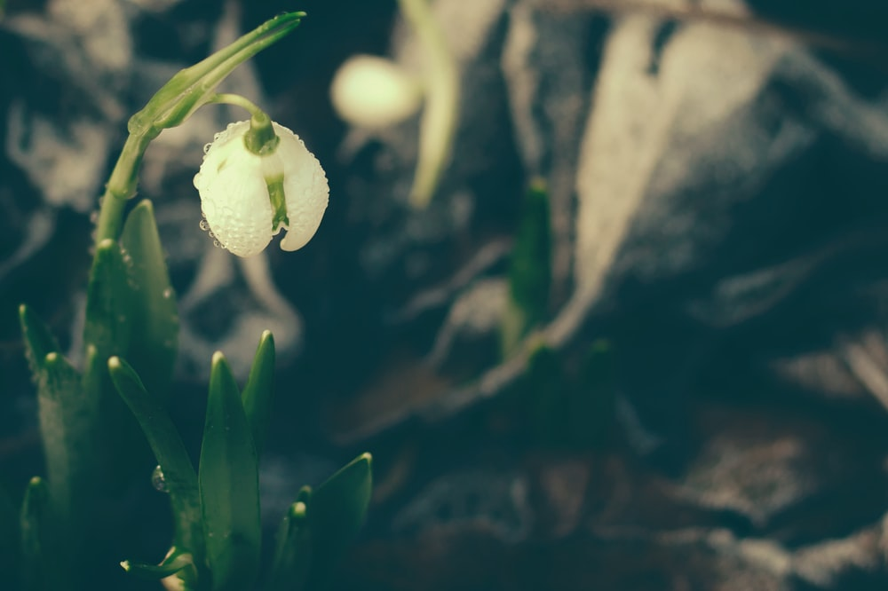 white lily of valley flower