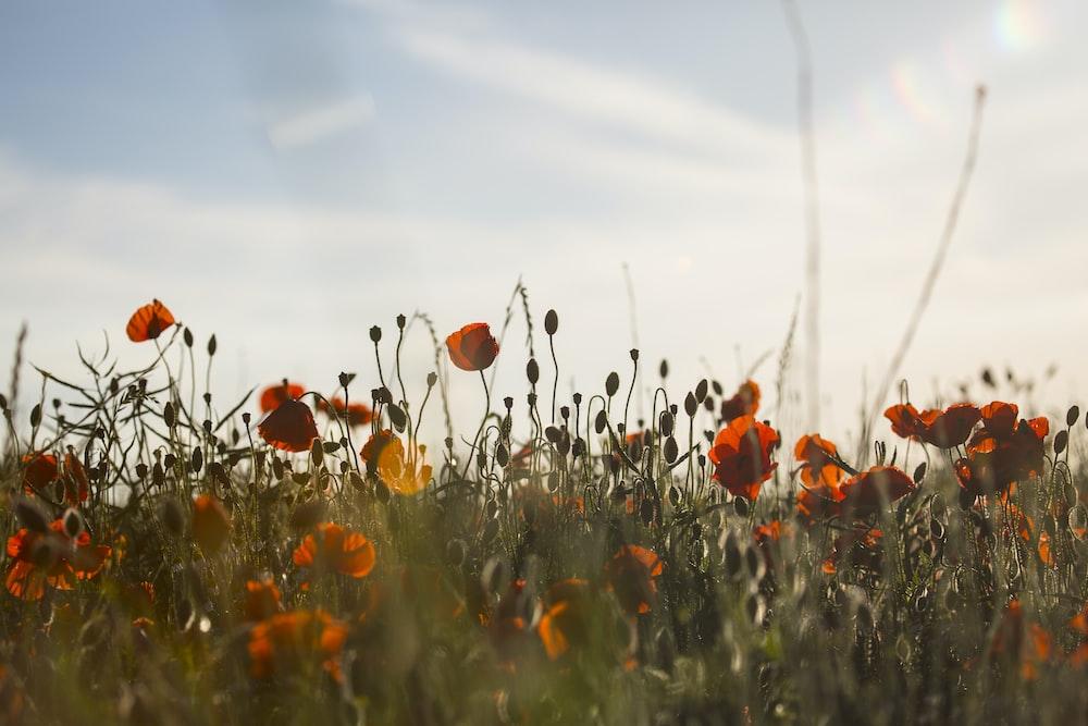 orange-petaled flower plants