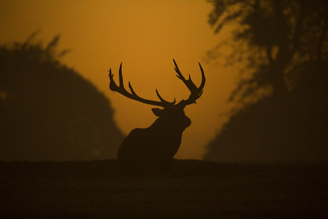 huge deer with antlers walking into sunset