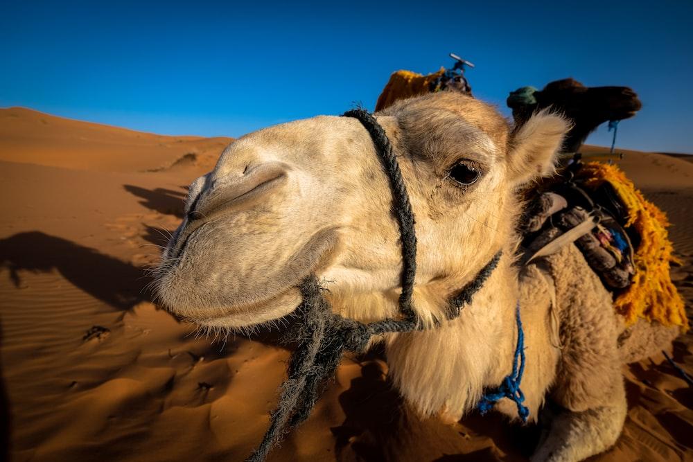 white camel on desert