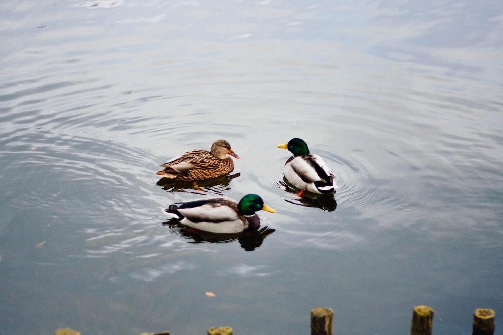 three ducks on water
