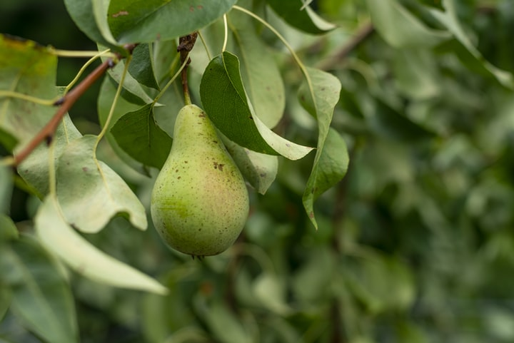 Story of Pear