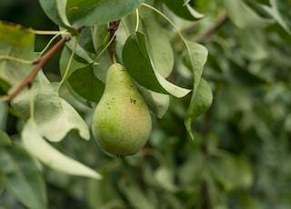 green avocado fruit