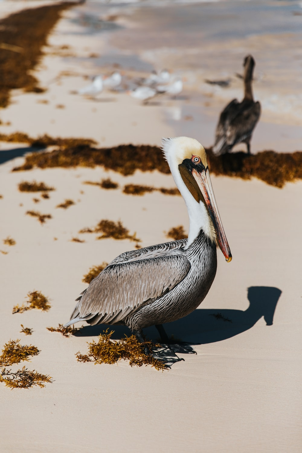 two gray pelican birds at the shore