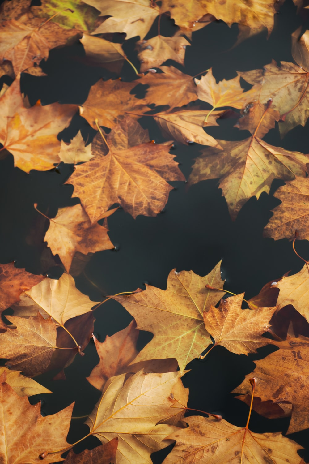 brown maple leaves on focus photography
