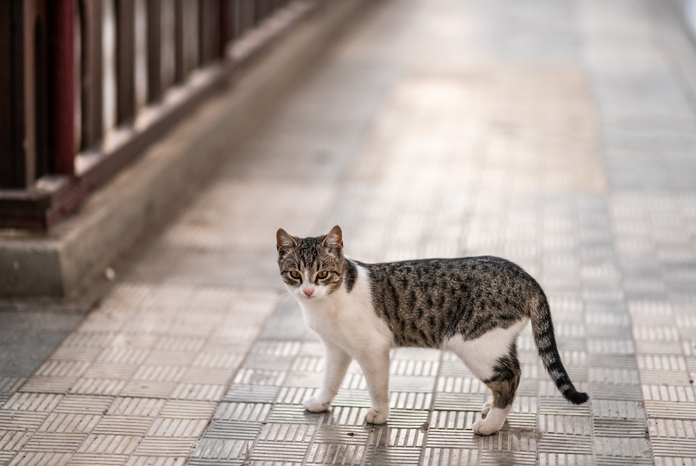 selective focus photography of gray and white tabby cat