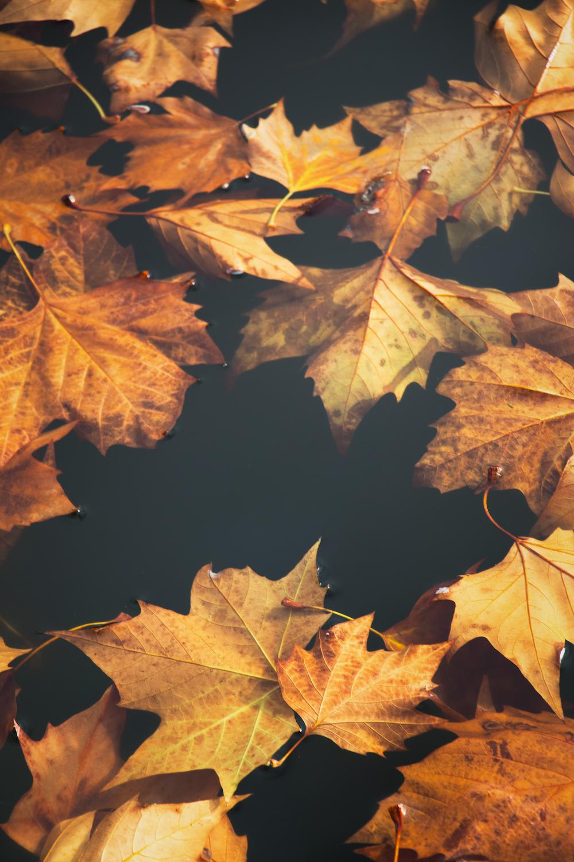 maple leafs on black cloth