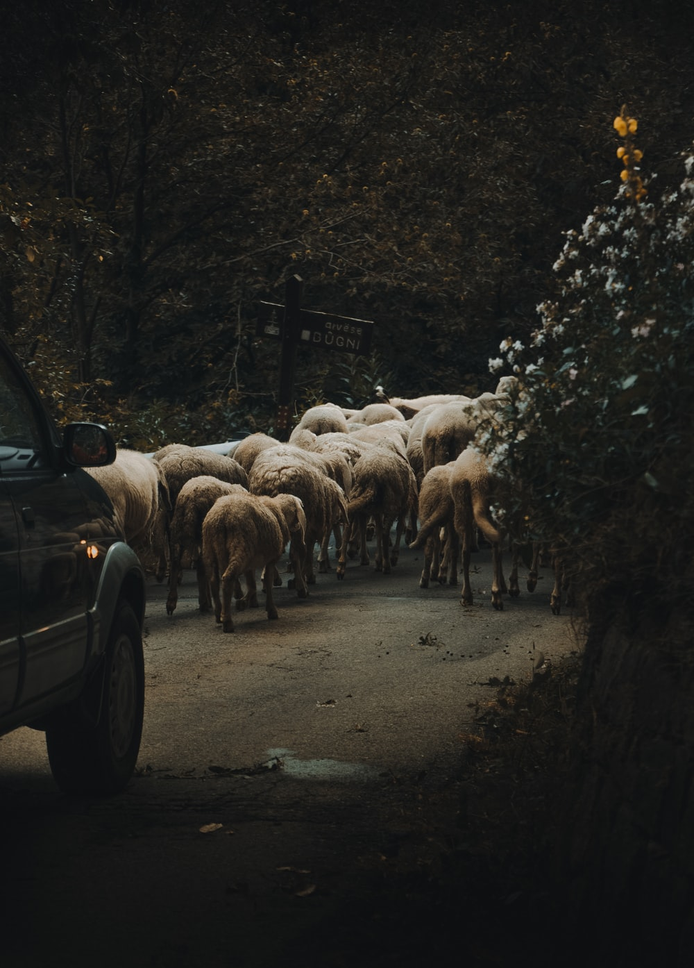 car in front of the heard of animals
