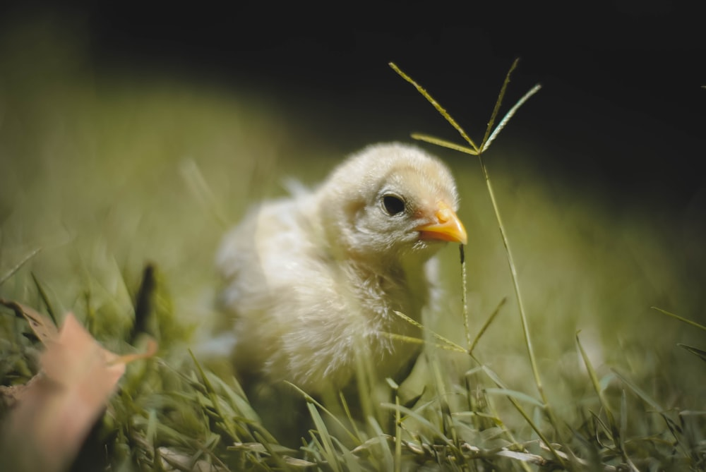 yellow chick on grass field