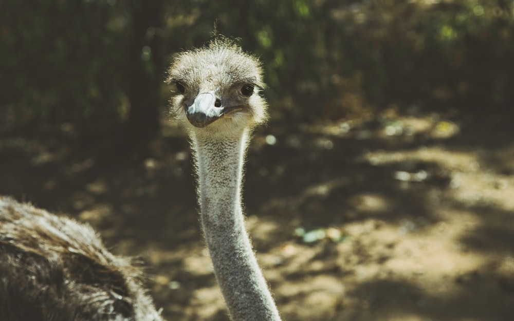 closeup photography of ostrich