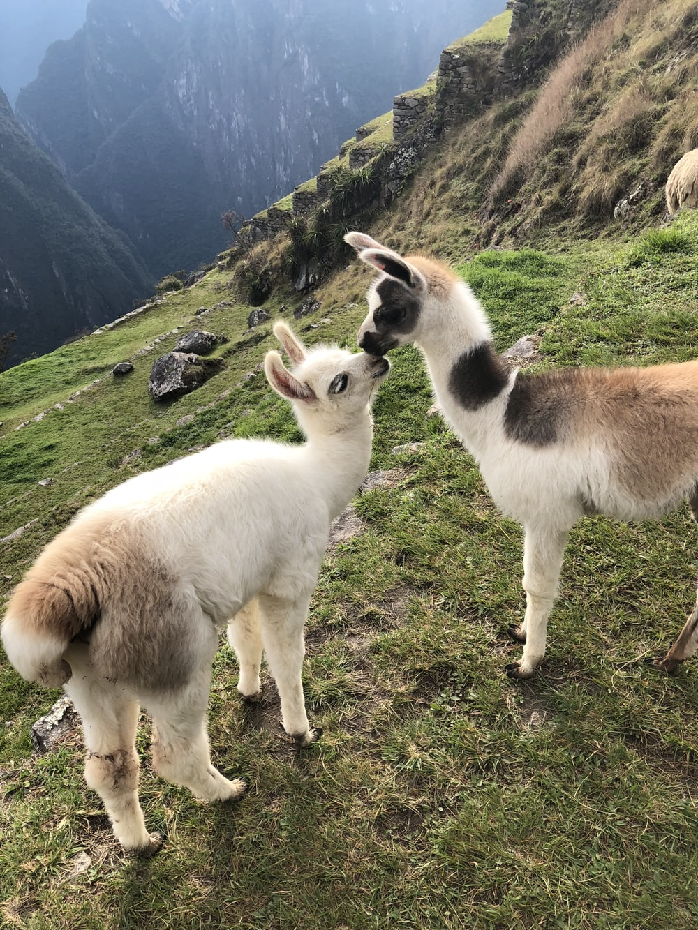 two brown and white young llamas on mountain top