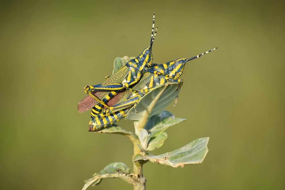 two green grasshopper mating