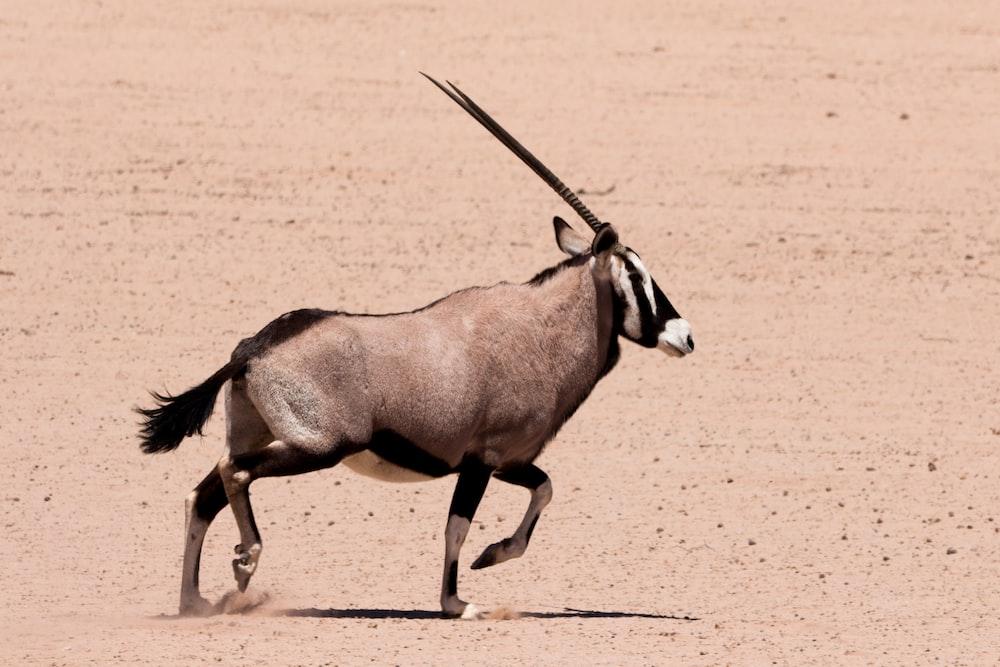 brown and black long-horned animal on dessert sand