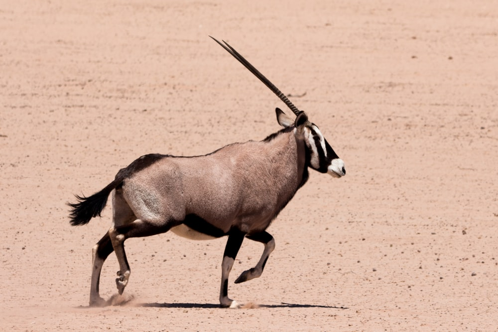 brown and black long-horned animal on dessert sand