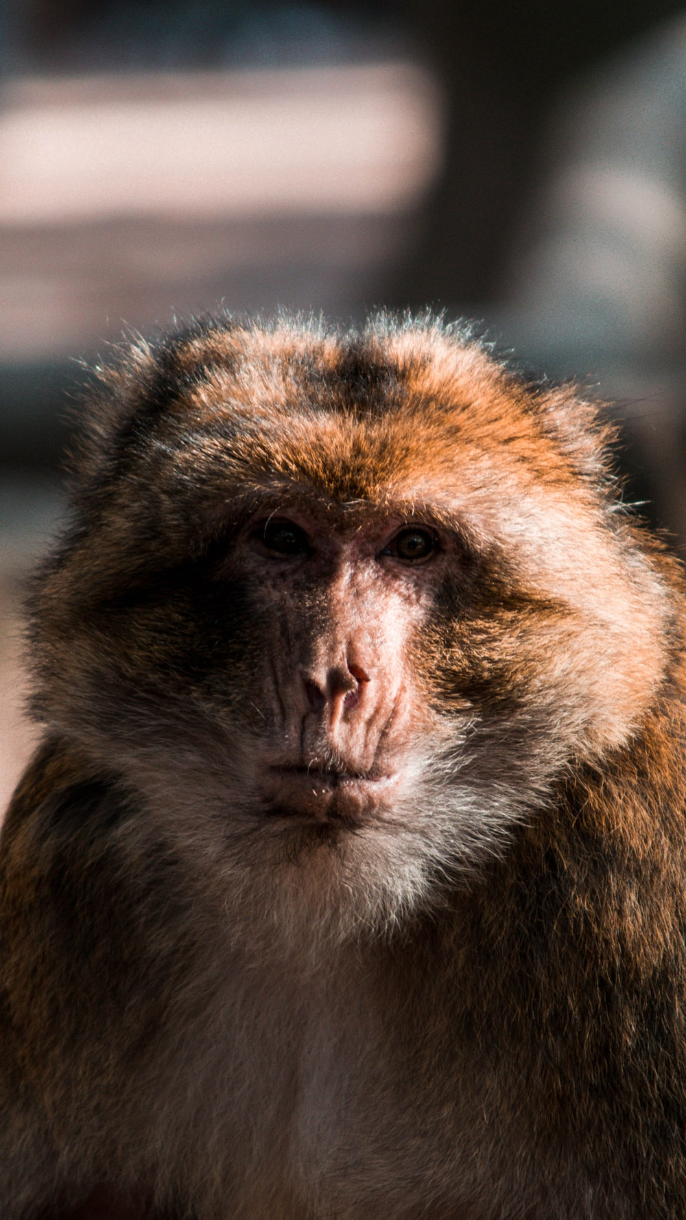 brown and white macaque