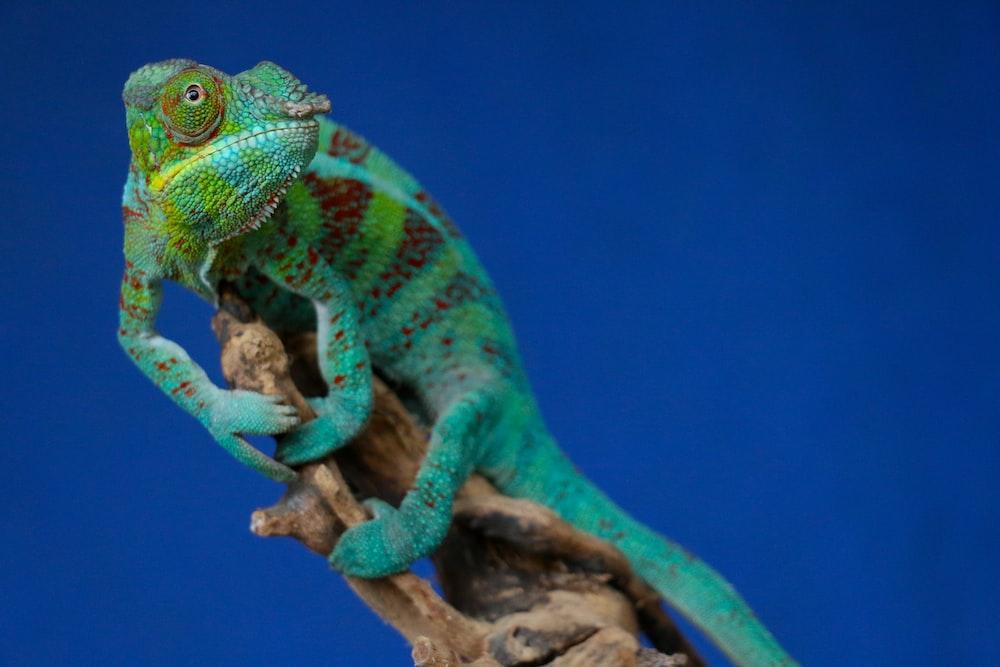 green chameleon perching on brown stick