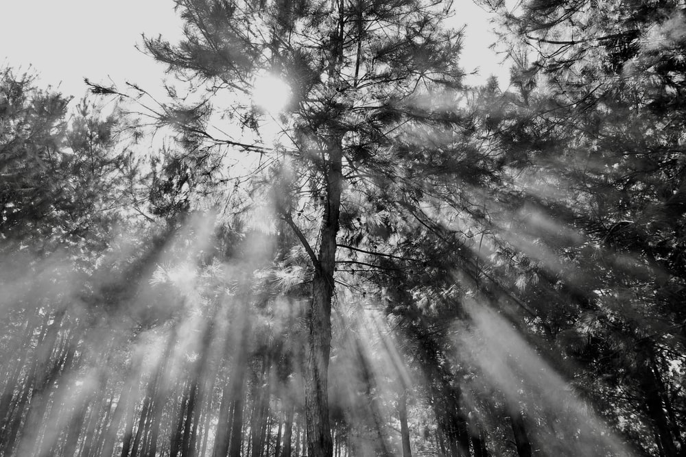 grayscale photography of trees during daytime