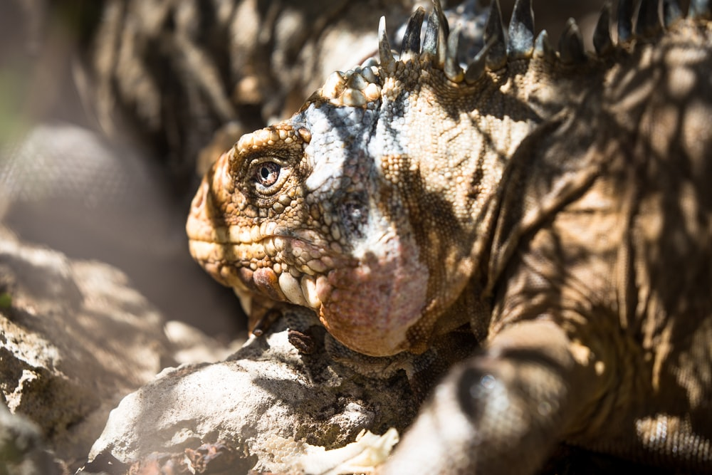 closeup photography of komodo dragon