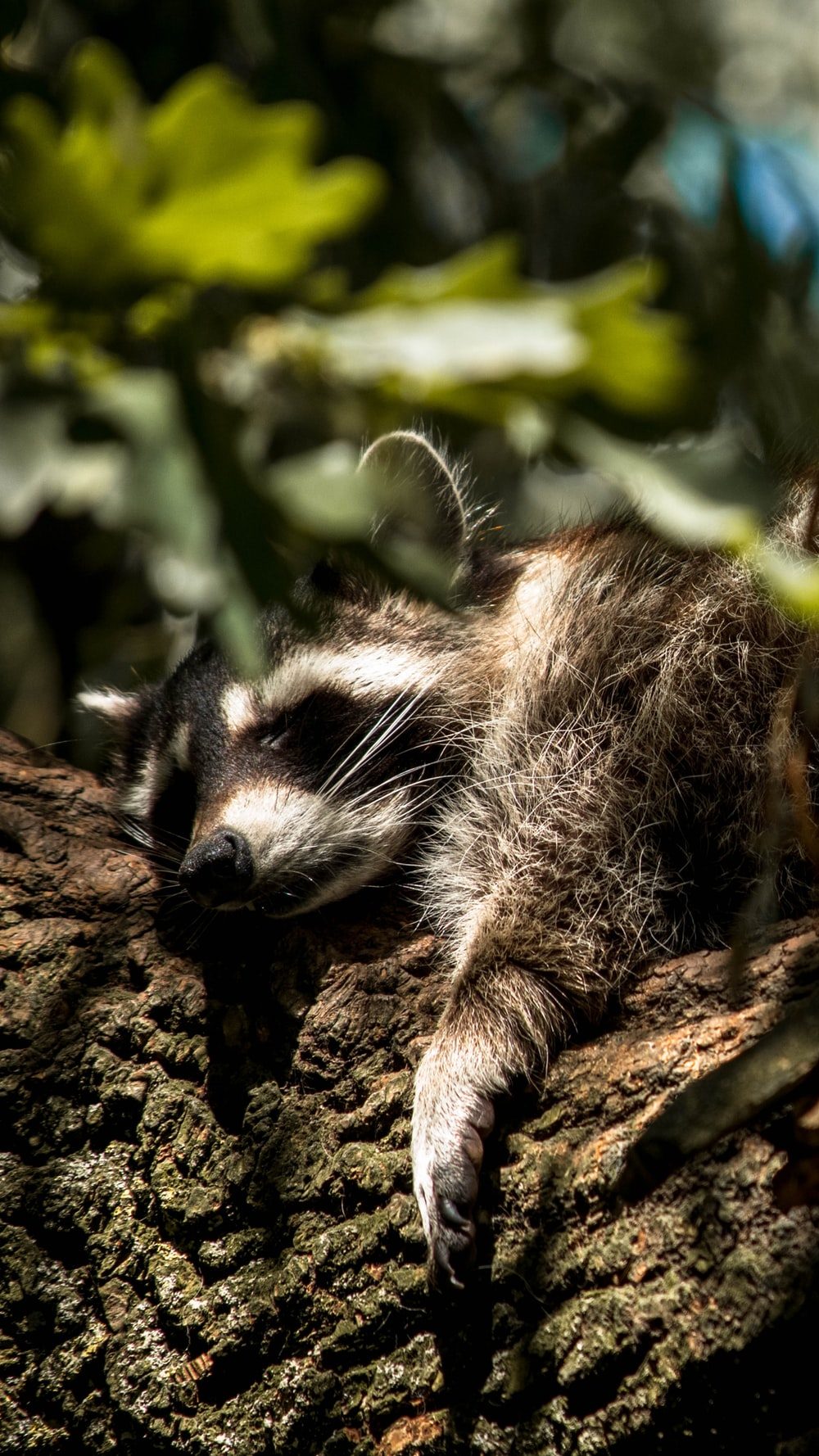 closeup photography of raccoon on tree during daytime