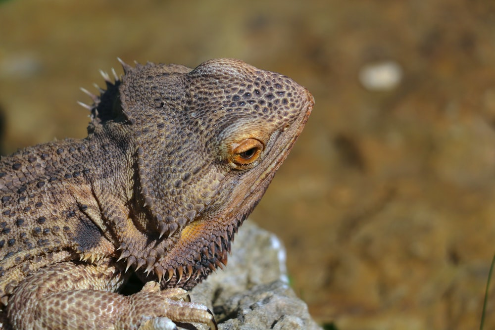 brown bearded dragon