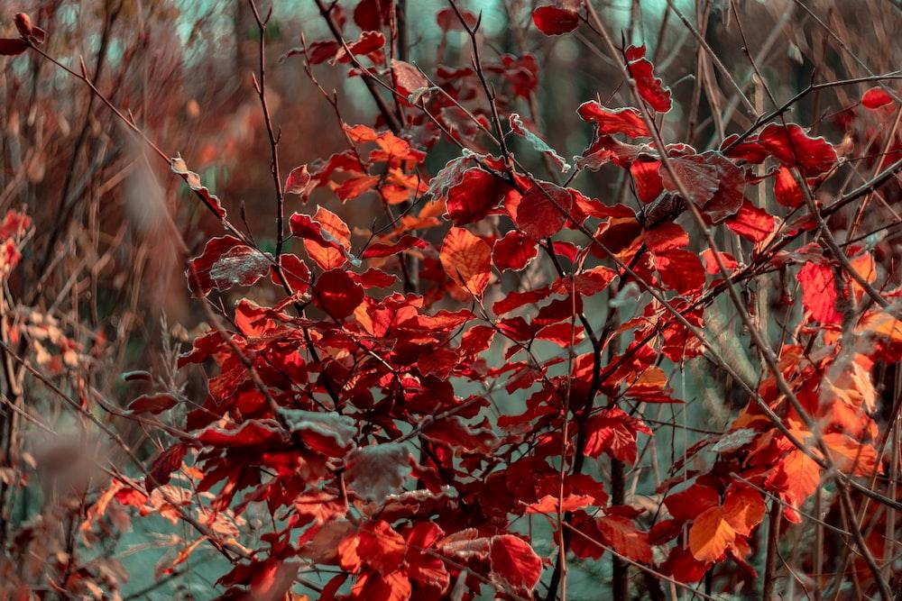 maroon leaf