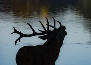 silhouette of deer beside body of water