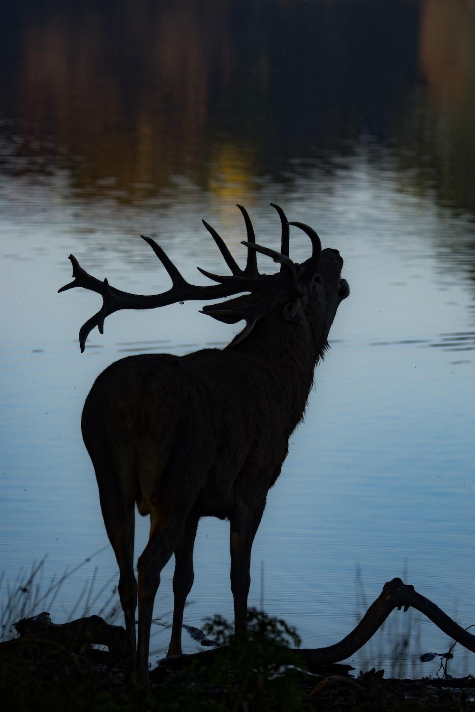 silhouette of deer beside body of water