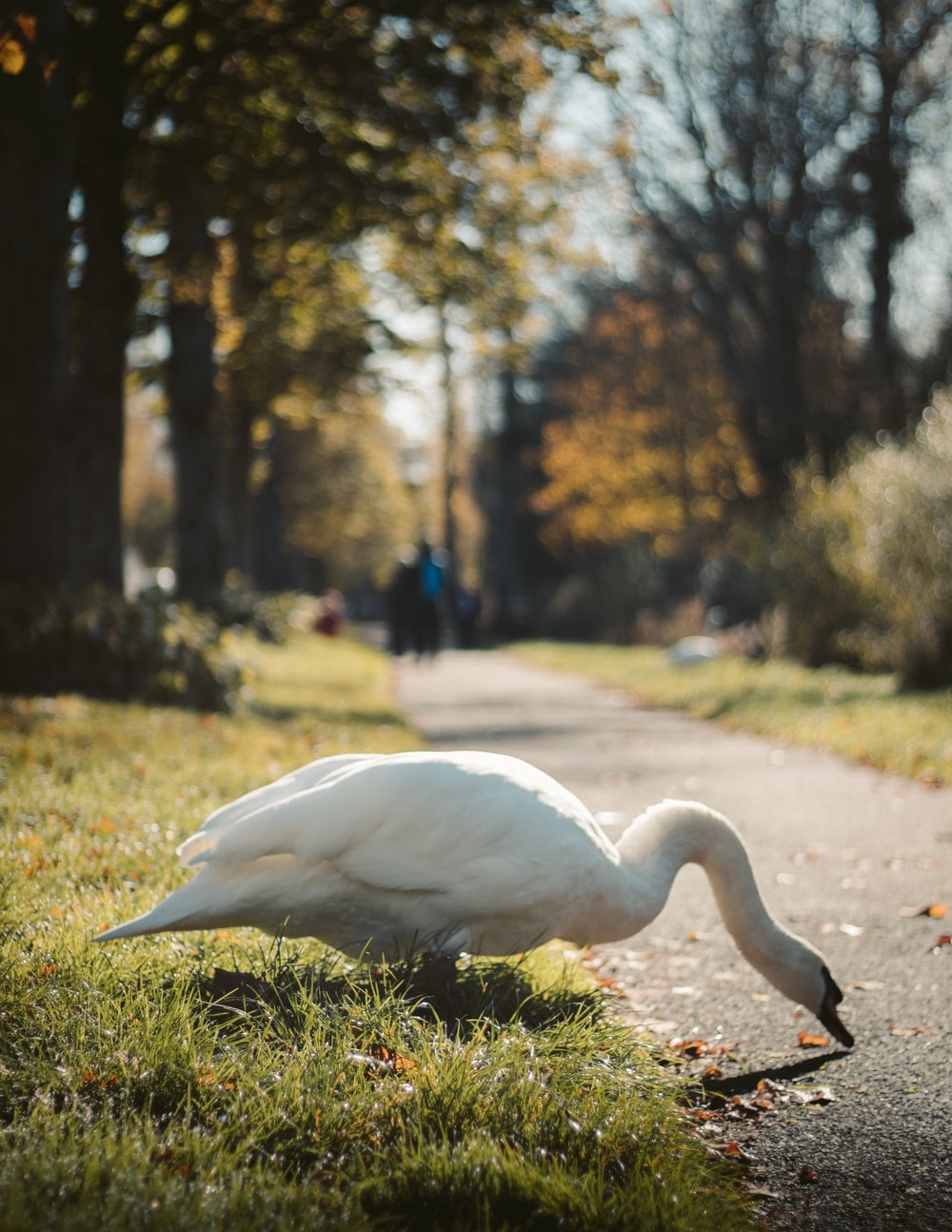 mute swan at the park
