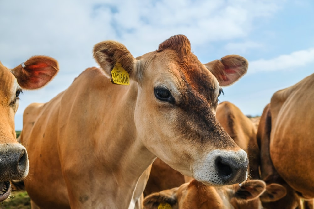 close-up photography of brown cattle during daytime