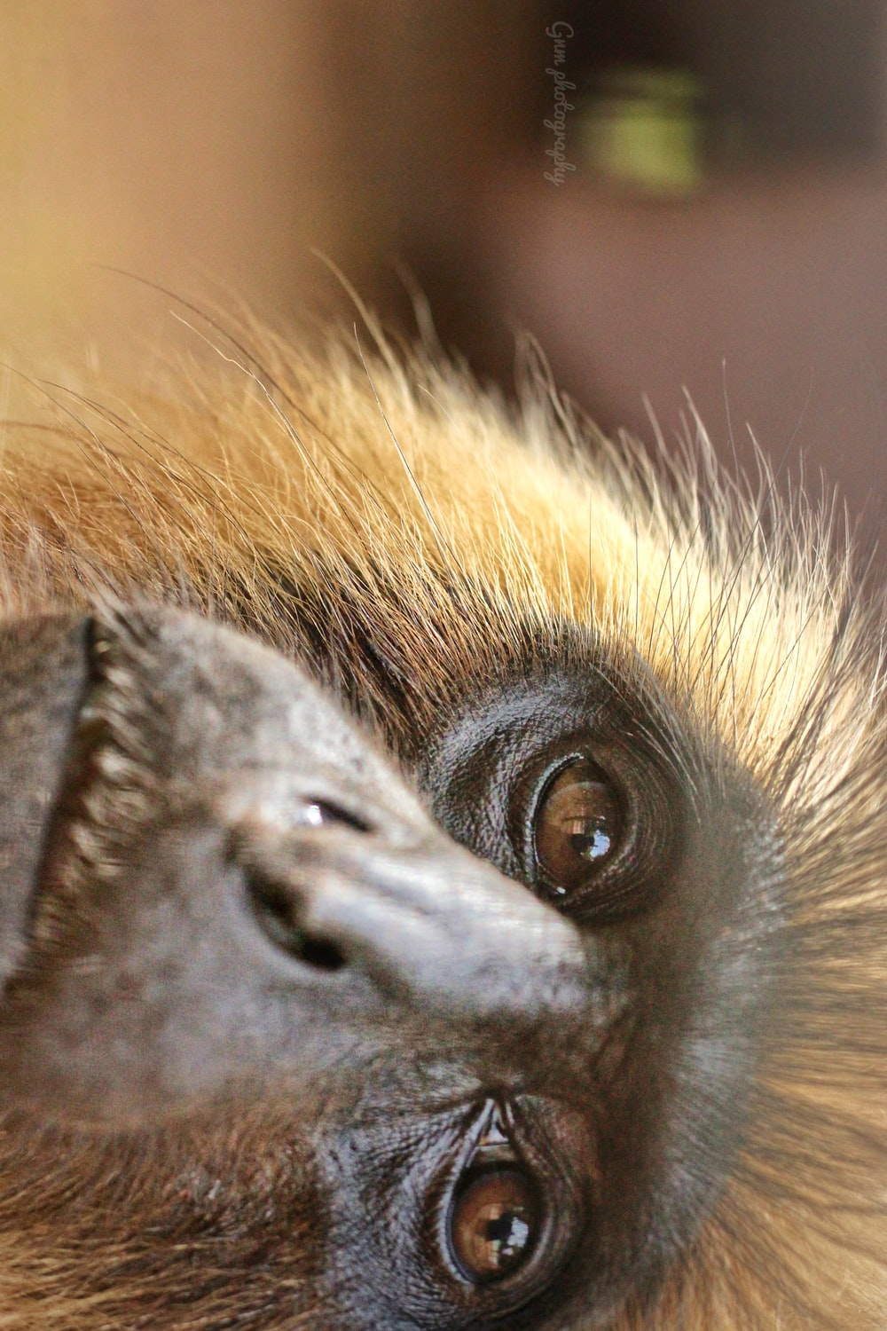 close-up photography of brown monkey
