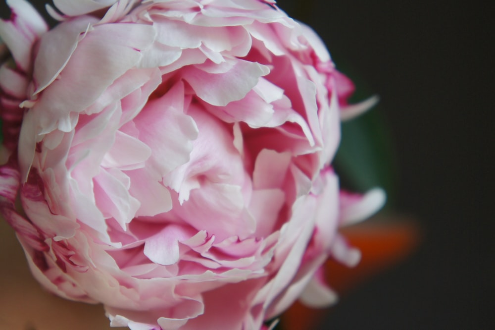 close view of pink peony