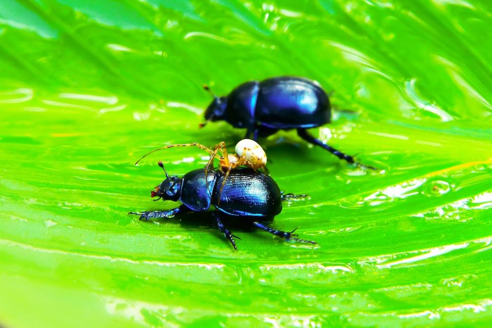 two beetles on green leaf