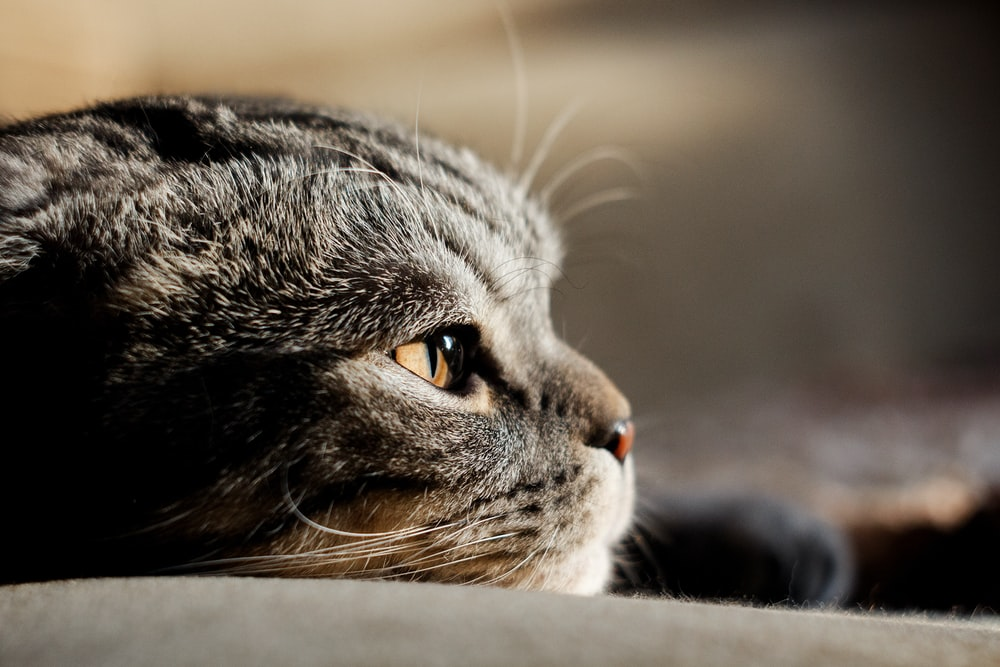 selective focus photo of silver tabby cat