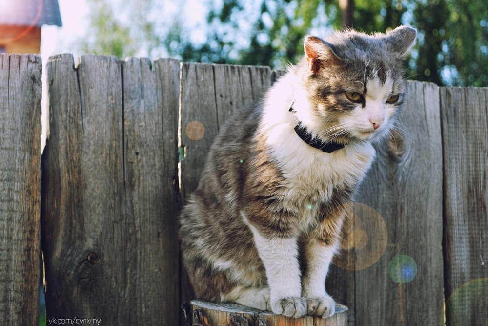 long-fur white and brown cat standing on wooden frame in front of wall