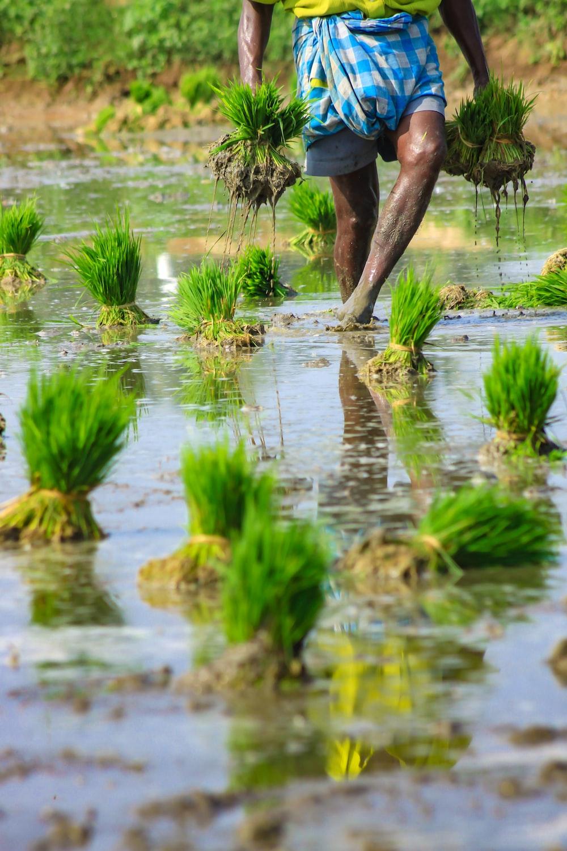 person walking on rice field