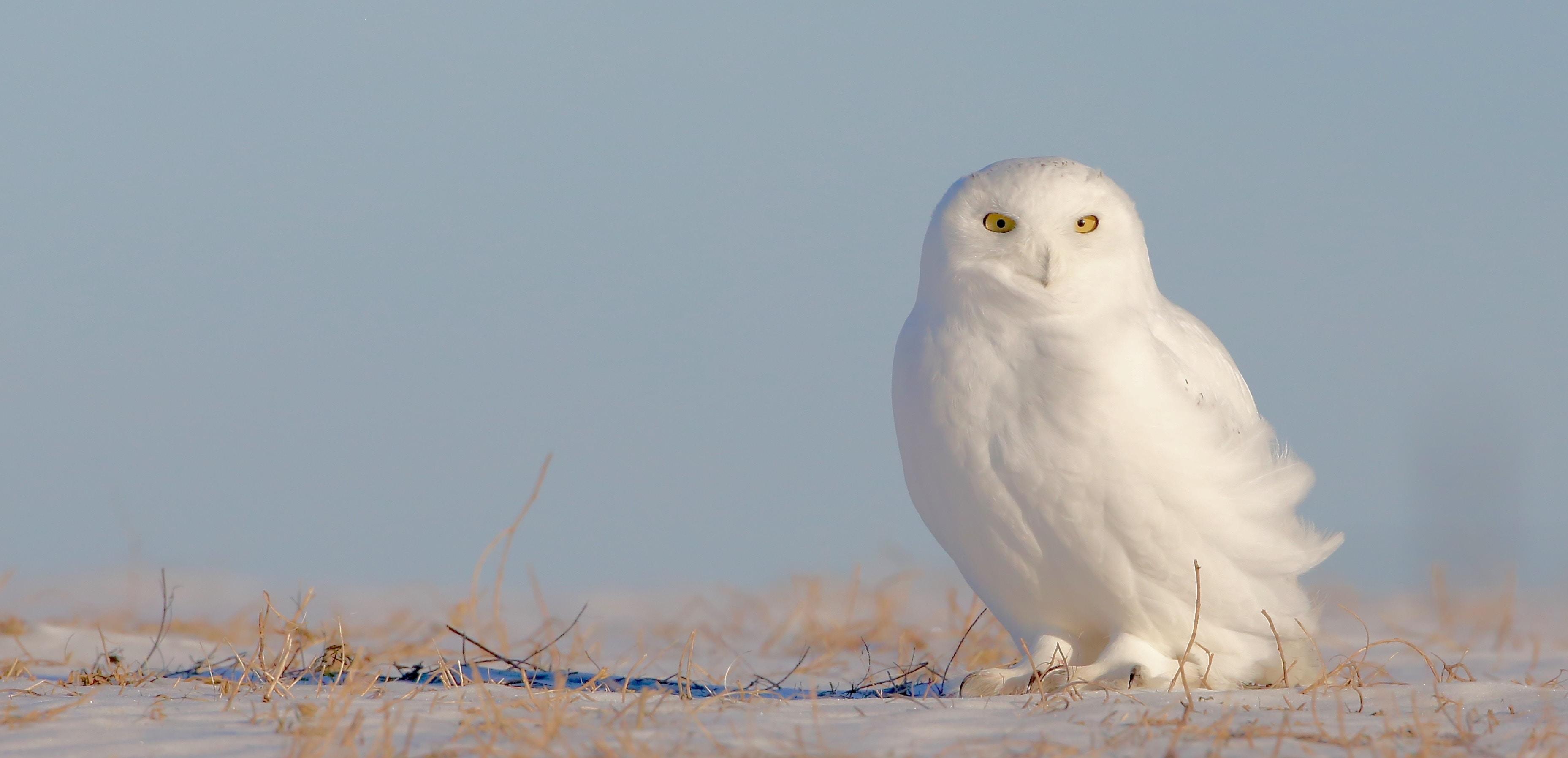 white owl standing