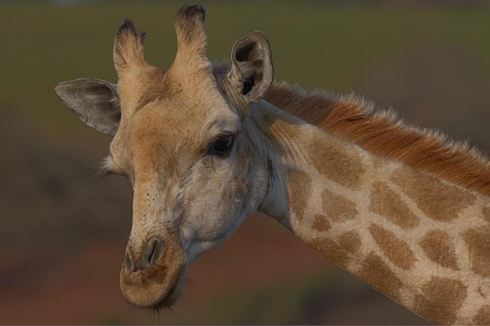 selective focus photography of brown giraffe