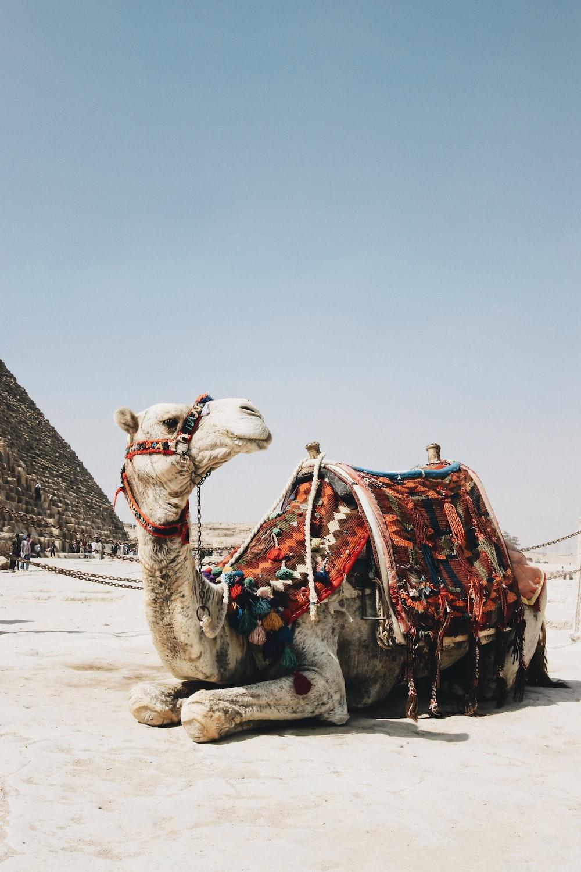 brown camel